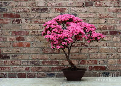 Photograph - Photograph Of Beautiful Pink Azalea Bonsai In Bloom by Angela Rath