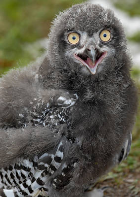 Art Print featuring the photograph Baby Snowy Owl by JT Lewis