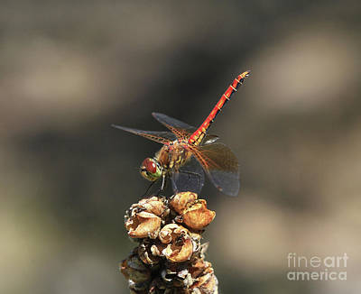 Yellow Photograph - Band-winged Meadowhawk by Gary Wing