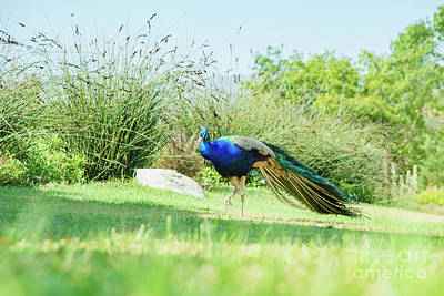 Art History Meets Fashion Rights Managed Images - Beautiful peacock walking around Royalty-Free Image by Chon Kit Leong