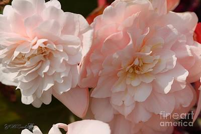 Photograph - Belgian Begonia Named Angelique by J McCombie
