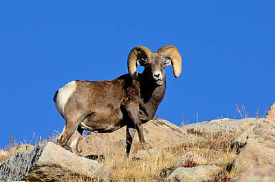Keith Richards - Big Horn Ram by Brian Wartchow