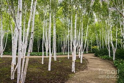 Birch Trees Art Print by Svetlana Sewell