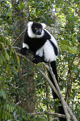 Photograph - Black And White Ruffed Lemur by Michele Burgess
