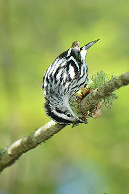 Photograph - Black And White Warbler by Alan Lenk