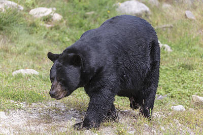 Photograph - Black Bear by Josef Pittner