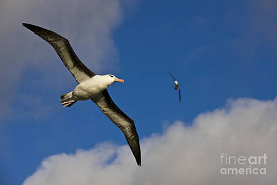 Ventral View Photograph - Black-browed Albatross by Jean-Louis Klein & Marie-Luce Hubert