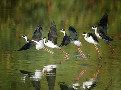 Photograph - Black-necked Stilts by Tam Ryan