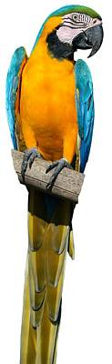 Animals Photos - Blue and Gold Macaw by George Atsametakis