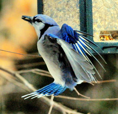 Yellowstone Digital Art - Blue Jay by Aron Chervin