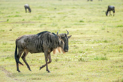 Photograph - Blue Wildebeest In Tanzania by Marek Poplawski