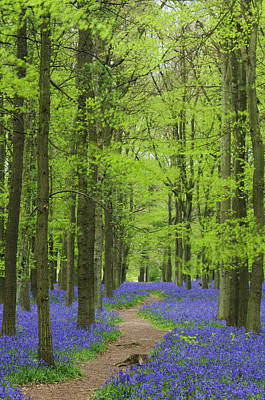 Bluebell Wood Art Print by Liz Pinchen