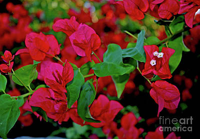 Photograph - 4-  Bougainvillea by Joseph Keane