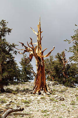 Photograph - Bristlecone Pine Tree 1 by Duncan Selby