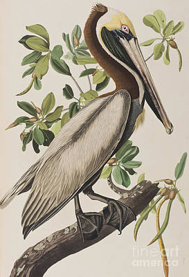 Pelican Wall Art - Painting - Brown Pelican  by John James Audubon