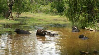 Photograph - Buffalos by Olaf Christian