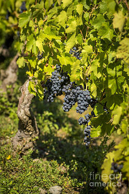Winemaking Photograph - Bunch Of Grapes by Bernard Jaubert
