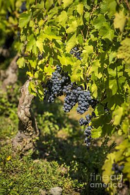 Green Color Photograph - Bunch Of Grapes by Bernard Jaubert