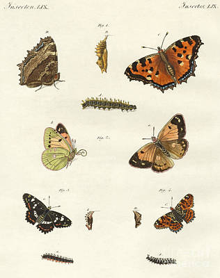 Insects Drawing - Butterflies by German School