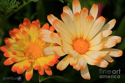 Photograph - Calendula Named Oopsy Daisy by J McCombie
