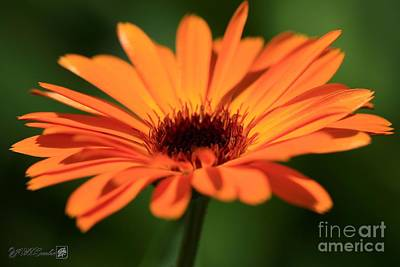 Photograph - Calendula Named Victoria Sunset by J McCombie
