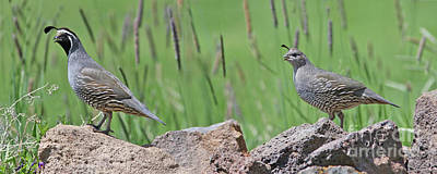 Wall Art - Photograph - California Quail by Gary Wing