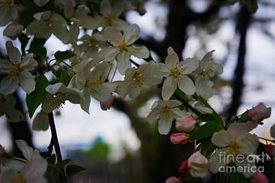 Cherry Blossoms Painting - Cherry Blossoms  by Celestial Images