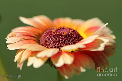 Photograph - Chrysanthemum Named Sunset by J McCombie