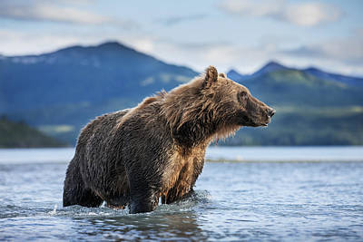 Blue Photograph - Coastal Brown Bear  Ursus Arctos by Paul Souders