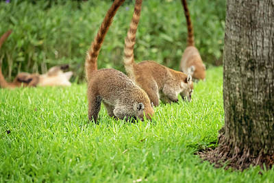 Photograph - Coati by Peter Lakomy