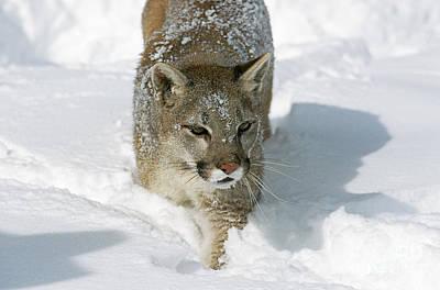 Cougar Puma Concolor Art Print