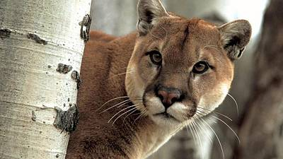 Cats Digital Art - Cougar by Super Lovely