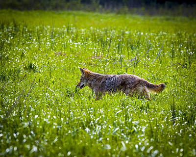 Impressionist Landscapes - Coyote by Jack R Perry