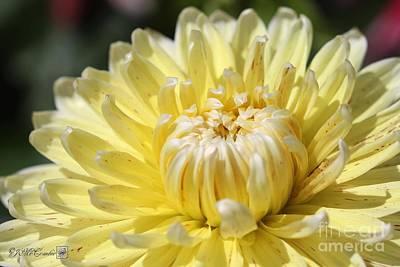 Photograph - Dahlia Named Cambridge by J McCombie