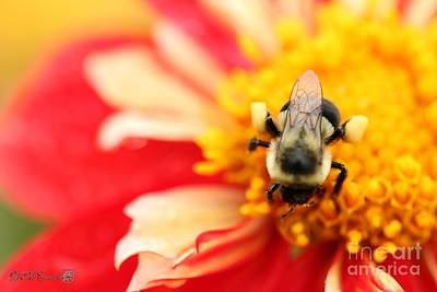 Photograph - Dahlia Named Fgl Favo by J McCombie