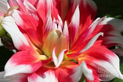 Photograph - Dahlia Named Red Empire by J McCombie