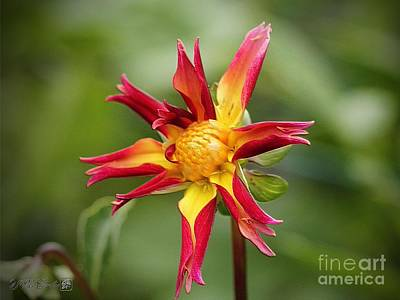 Photograph - Dahlia Named Thomas Mcnutty by J McCombie