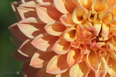 Photograph - Dahlia Named Woodland's Wondrous by J McCombie