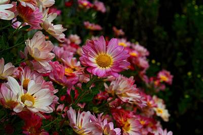 Photograph - Daisy Mums by Kathryn Meyer
