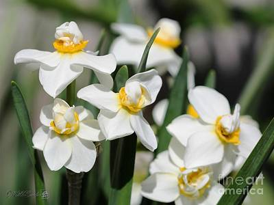 Photograph - Double Gardenia Daffodil Named Cheerfulness by J McCombie