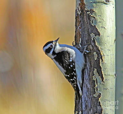 Tree Photograph - Downy Woodpecker by Gary Wing