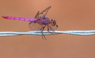 Photograph - Roseate Skimmer Dragonfly 9411-072714  by Tam Ryan
