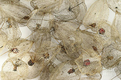 Photograph - Dried Fruits Of The Cape Gooseberry by Michal Boubin