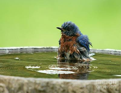 Eastern Bluebird Art Print