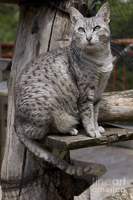 Pet Care Photograph - Egyptian Mau Cat by Jean-Michel Labat