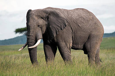 Photograph - Elephant by Michel Legare