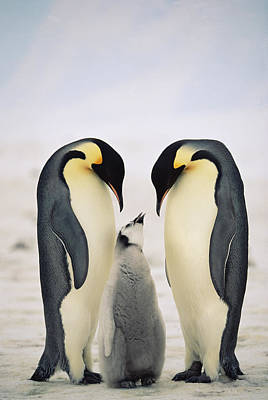 Three Chicks Photograph - Emperor Penguin Family by Konrad Wothe