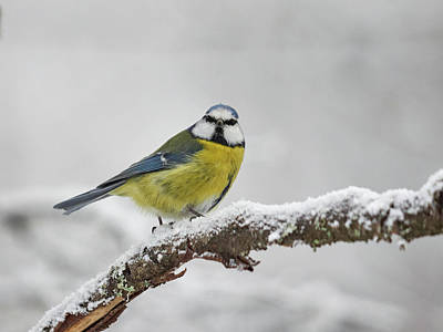 Photograph - Eurasian Blue Tit by Jouko Lehto