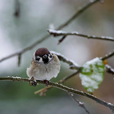 Photograph - Eurasian Tree Sparrow by Jouko Lehto