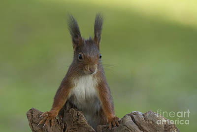 European Red Squirrel Art Print by Helmut Pieper